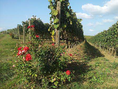 Escursione tra le vigne di Castiglione del Lago